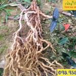 Cây ba kích tím hay cây mã kích phân biệt với cây ruột gà trên rừng