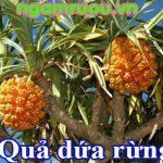 Hình ảnh cây và quả dứa dại