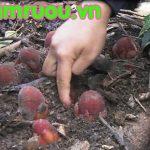 nấm ngọc cẩu là gì ? cây củ tỏa dương là gì?