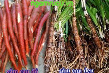 Sâm Cau Là Gì ? Sâm cau đỏ và sâm cau đen phân biệt và cách dùng