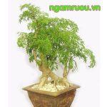 hình ảnh cây đinh lăng nếp lá nhỏ