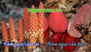 nấm ngọc cẩu đực và cái