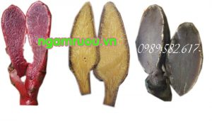 nấm ngọc cẩu ruột đỏ vàng tím