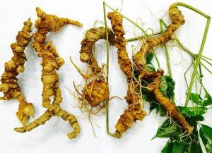 hình ảnh cây sâm Ngọc Linh - cây thảo dược tốt nhất thế giới
