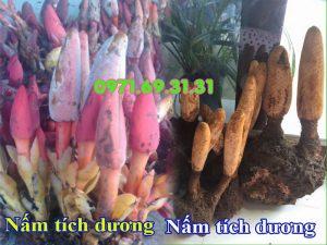 nấm tich dương và nấm tỏa dương - nấm ngọc cẩu