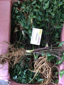 Cây, củ và lá cây đương quy chứa nhiều Vitamin và tinh dầu