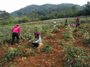thu hoạch đương quy trên đồi