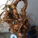 Cảnh báo các loại cây thảo dược rừng Việt quý giả tràn lan trên thị trường