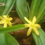 hình ảnh lá và hoa cây sâm cau đen
