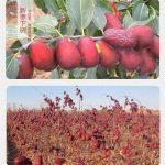 táo đỏ tân cương khô tự nhiên trên cây