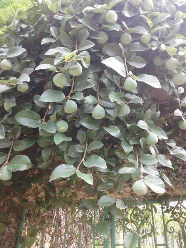 cây và quả trâu cổ