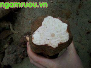 củ hà thủ ô trắng có phần thịt màu trắng