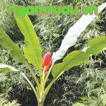 Những bài thuốc chữa bệnh cực hay từ chuối hột rừng