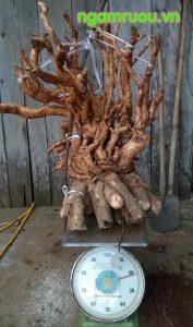 Rễ đinh lăng khủng