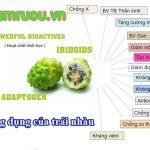 Công dụng của trái nhàu nhiều lợi ích tốt cho sức khỏe