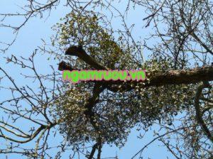 cây tầm gửi trên cây nghiến