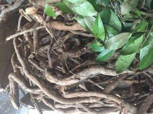hình ảnh cây Sâm xuyên đá