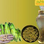Công dụng của sâu chít Điện Biên – Thảo dược bổ dưỡng đầu bảng của Việt Nam