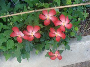 hình ảnh cây và hoa sâm bố chính trồng