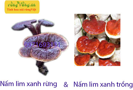 phân biệt nấm lim xanh rừng với nấm lim xanh trồng