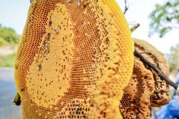 Cách ngâm rượu sáp ong rừng chuẩn bổ gân, tráng cường cơ thể