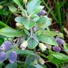 hình ảnh cây sim