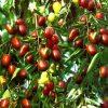 Hình ảnh cây táo đỏ Tân Cương