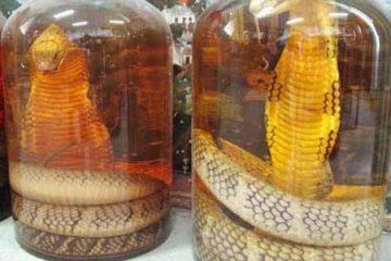 Rượu rắn chữa bệnh gì? Những lưu ý cánh mày râu nên biết khi dùng rượu rắn