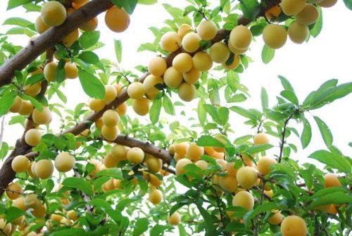quả và cây mơ