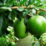 Tác dụng của quả đào tiên – Cách sử dụng ngâm rượu và làm thuốc