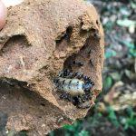 Bất ngờ Công dụng của mối chúa rừng loài côn trùng tưởng chỉ gây hại này