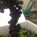 Những điều bạn cần biết về quả nho rừng ngâm rượu cực thơm ngon