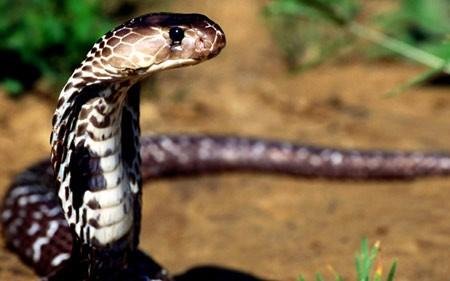 Ảnh 2. Không phải cứ là rắn thì ngâm rượu sẽ có hiệu quả