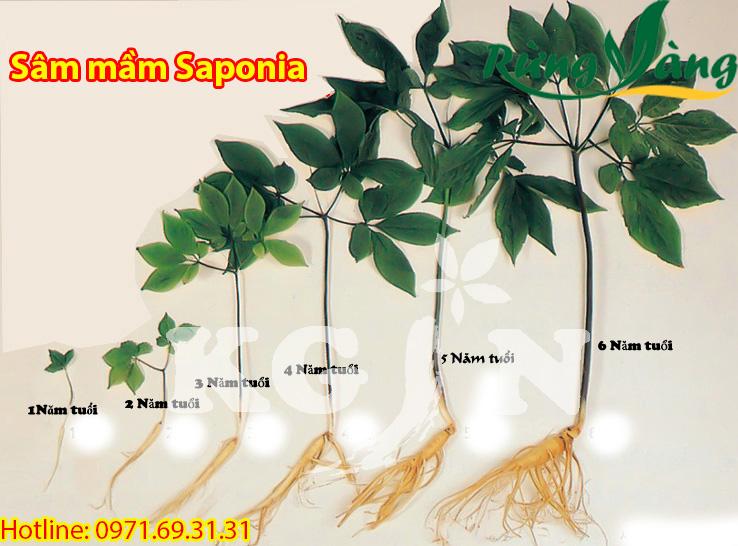 Sâm mầm saponia theo năm tuổi