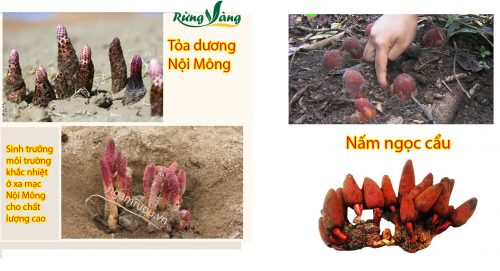 nấm ngọc cẩu và tỏa dương là 2 loài khác nhau