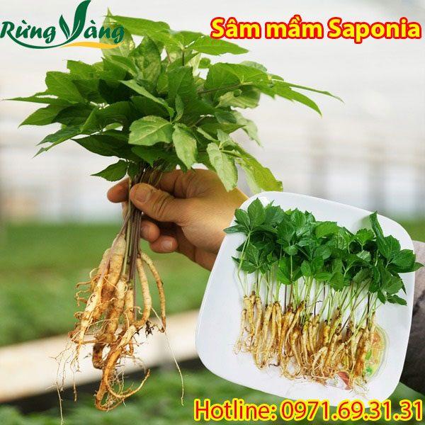 Sâm mầm Saponia tươi 1 năm tuổi