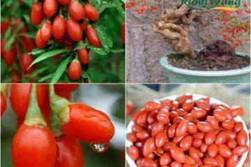 Nguồn gốc xuất xứ của câu kỷ tử. Câu kỷ tử có trồng ở Việt Nam không?